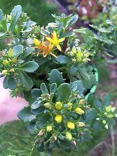 SEDUM florifeum (Phedimus floriferus) ALPINE PERENNIAL GRAVEL ROCKERY in 9cm Pot