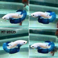 (MT-89529) White Marble Blue Rim - Live Male Plakat HM Betta Fish Grade A+++