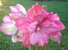 "Dble Hippeastrum ""Elizabeth"" 16mth olld Bulb  -  Mauve Pink Flower Pretty!!!!!"