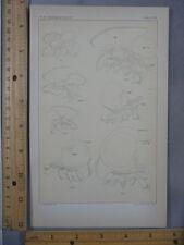 Rare Antique Original VTG Apus Skeleton Anatomy Chart Illustration Art Print