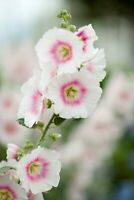 25 White Pink Hollyhock Seeds Perennial Giant Flower Seed Bloom Flowers 820