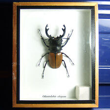 Odontolabis elegans Real Butterfly Insect Bug Taxidermy Display Framed Box gpasy