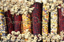"""Calico"" Multi colored Large ears Heirloom Popcorn 40+ seeds  Organic NON-GMO"