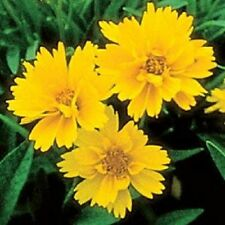 Coreopsis grandiflora 'Early Sunrise' / Tickseed / 50 Seeds