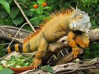 IGUANA LIZARD GLOSSY POSTER PICTURE PHOTO PRINT tropical herbivore reptile 4788