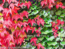 JAPANESE CREEPER IVY red and green - Parthenocissus tricuspidata - 45 seeds no03
