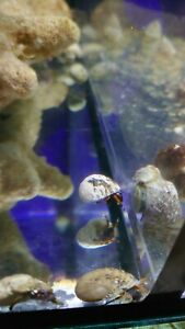 Large Blue eyed Hermit Crab  x1 - Marine Clean Up Crew