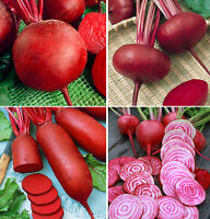 Red Ace 4 different varieties chioggia Avalanche Beetroot Seeds boldor F1