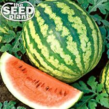 Crimson Sweet Watermelon Seeds 50 SEEDS-SAME DAY SHIPPING