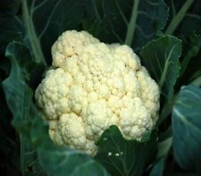 "Cauliflower ""ALL YEAR "" 100 seeds vegetable garden not for WA or TAS"