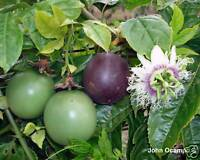 Passionfruit cv 'Large Black' Seeds Fleshy &Tasty Fruit Evergreen Vine