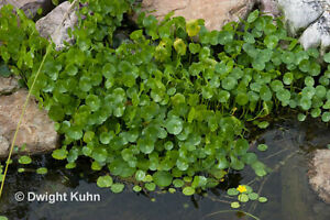 6 Water Gotu-Kola Hydrocotyle Creeping Pond Float Home Herb Aquarium Live Plant