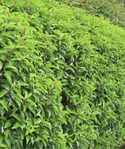 50 x    Prunus lusitanica, the Portuguese laurel hedging/tree 50seeds Evergreen