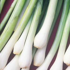 SPRING ONION Winter Hardy ORGANIC SEED For salads and stir fry. Grows all year.