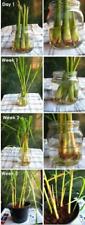 4 Plants Live Lemongrass Cymbopogon citratus Citronella Excellent Herb Sale!