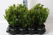 5 Stück Buchsbaum Höhe 40 cm+/- Buxus Sempervirens Bux Buchs