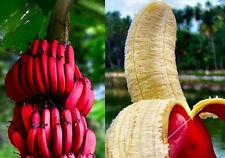 Semi Banana rossa BANANO  originali India  Spedizione Sicura rari