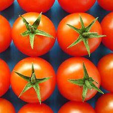 Tomate-Shirley - 6 Semillas [ galardonado neerlandés F1 hybrid desde los años 80's ]