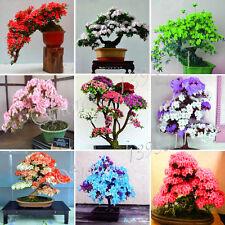 MOUNTAIN AZALEA - Rhododendron simsii (100 Bonsai Seeds) Satsuki Mixed Color