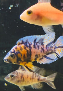 "Medium Sized (3""-4"") OB African Cichlids For Fish Tank Aquarium FREE SHIPPING"