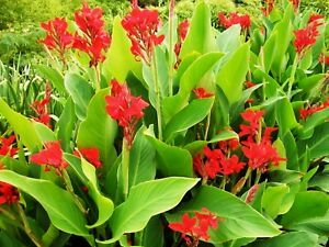 🔥 Madagascan CURCUMA MANGGA Turmeric Plant Roots Rhizomes Rare Flower TR07-03