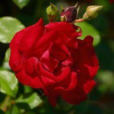 Züchter-Rose Kletterrose ' Santana ' leuchtend blutrot 2 Liter Topf