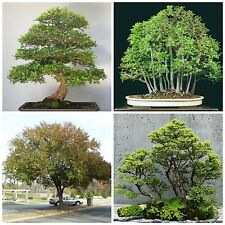 50 seeds Ulmus parvifolia, Chinese elm Tree Seeds,bonsai seeds C