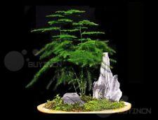 Asparagus setaceus Perennial Bonsai seed 6 seeds Common Asparagus Fern Lace