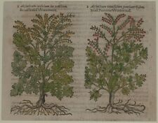 JOHN GERARD BOTANICA MATTHIOLI 1597 ASSENZIO DROGHE DROGA ABSINTHIUM WORMWOOD