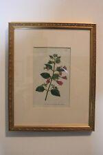 Curtis's Botanical Magazine Hibsicus