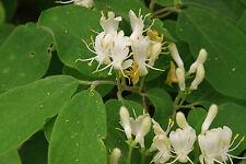 European Honeysuckle, Lonicera xylosteum seeds, 50 seeds