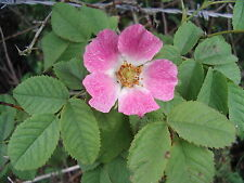 10 Dog Rose Hedging Plants 60-90cm  Rosa Canina,  Make Healthy Rose Hip Syrup