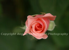 Original 8x10 photo art print PINK ROSE BUD wall decor multiple sizes green bkgd