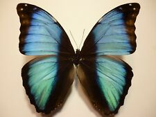 Real Dried Insect/Butterfly Non-Set.B3726 Blue Morpho deidamia briseis Peru