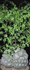 Testudinaria Elephantipes, dioscorea plant elephant foot yam Caudiciform 5 seeds