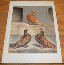 1876 Antique COLOR Pigeon Print///ALMOND TUMBLER COCK