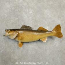 "#20583 E | 27"" Walleye Freshwater Taxidermy Fish Mount - Northern"