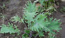 100 Samen sibirischer Wild-Kohl schmackhafter Winterkohl Brassica napus