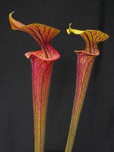 Carnivorous Sarracenia flava var ornata - Sandy Creek Road, Bay Co., FL