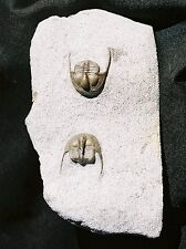 EXTINCTIONS PREP- Very Detailed Pair of ONNIA Trilobite Fossils - Great Display!