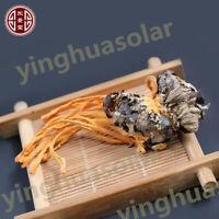 Real Cordyceps Militaris Pupa Mushroom-Dried - 100% Pure Natural Chemical 蛹虫草