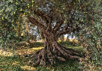 Giant paper wallpaper 368x254cm Olive Tree National Geographic wall mural