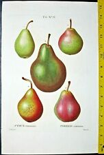 Bessa Fruit, Various Pears,Pyrus communis, large color engraving, ca.1810 #73