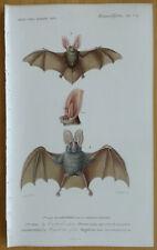 Orbigny Dictionnaire Original Print Bat - 1849