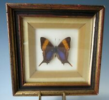 Vintage Mounted Luminescent Butterfly Display Shadowbox Framed