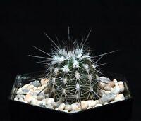 ECHINOPSIS MIRABILIS  30  Seeds
