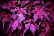 ACER PALMATUM PURPURA  purple ghost  Arce Japonés 15 semillas seeds samen graine