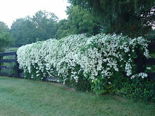 Sweet Autumn Clematis >Shipped Bare Root> 1 Well Rooted Plant!