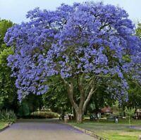 Big Jacaranda Mimosifolia Tree Live Plant Blue Flowering Brazilian Rose1-2ft!