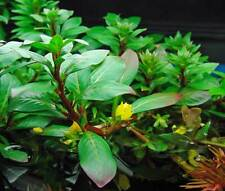 New listing Bunched Cuba Ludwigia Live Aquarium Plants stem (Ludwigia inclinata)